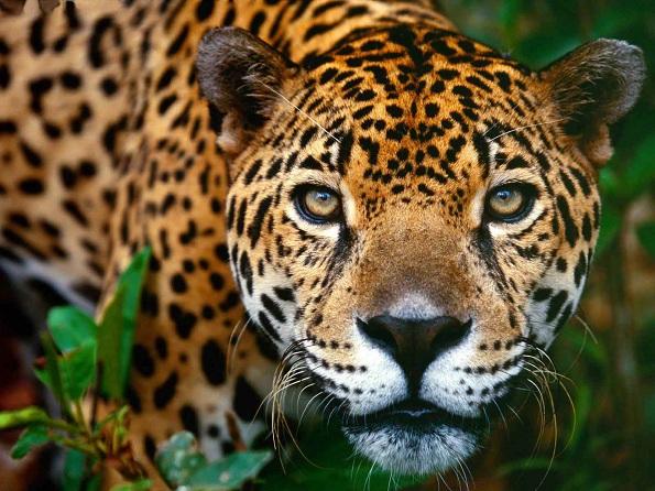 Jaguar Onça