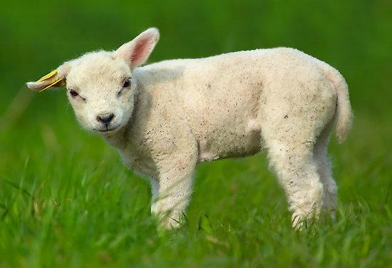 Portuguese-idioms-Sheep