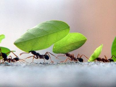 formigas-sauvas