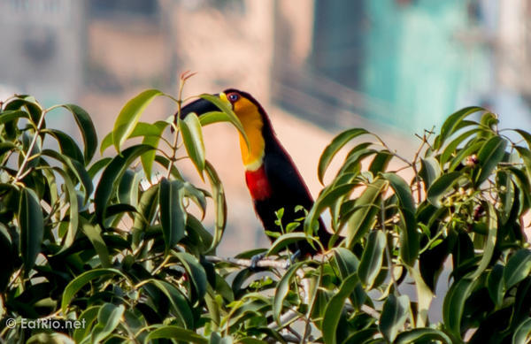 channel-billed-toucan