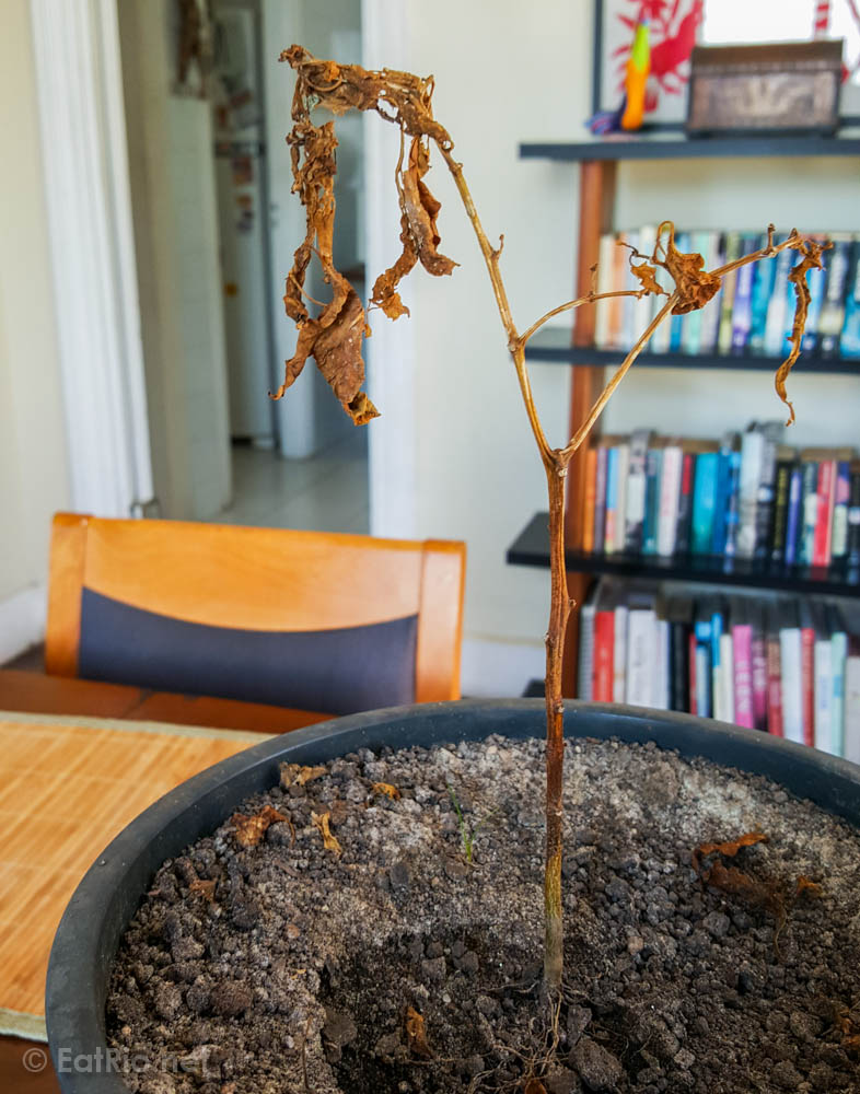 dead-chilli-plant